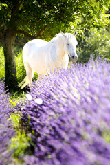 Tuinposter Lavendel Cheval blanc dans la lavande à Valensole en Provence