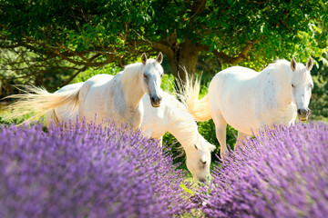 Wall Murals Lavender Cheval Blanc dans la lavande de Provence