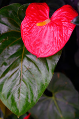 Tropical red anthurium plant, also called laceleaf and flamingo flower