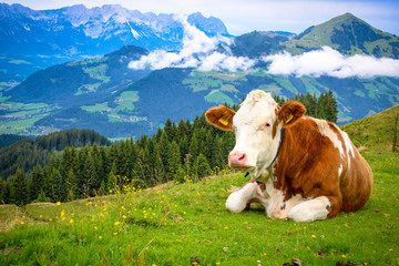 Foto op Plexiglas Koe White brown spotted cow lying on a mountain in the Tyrolean Alps on a fresh green meadow