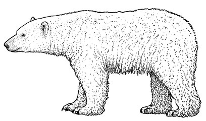 Polar bear illustration, drawing, engraving, ink, line art, vector