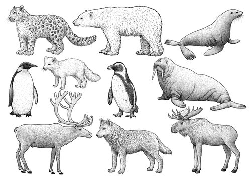 Cold climate animals illustration, drawing, engraving, ink, line art, vector