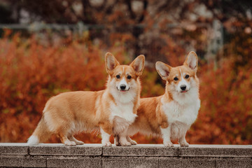 Welsh Corgi Pembroke in the autumn wether , red background