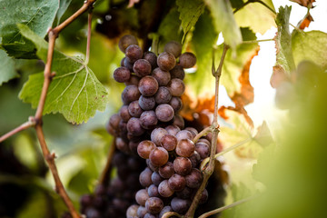 horizontal picture of grapes
