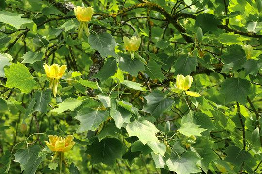 Blüte des Tulpenbaumes, Liriodendron tulipifera