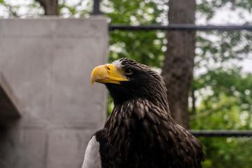 Ptak Bielik olbrzymi znany też jako orłan - fototapety na wymiar