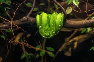 Fototapeta zielony Boa psiogłowy Corallus caninus emerald tree boa wiszący symetrycznie na gałęzi drzewa zwinięty w kulkę obraz