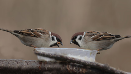 Two sparrows are sitting on a feeding trough opposite each other and eating ..