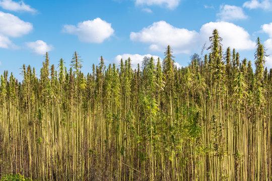 Fields of industrial hemp in Lithuania
