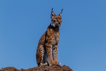 Photo on textile frame Lynx a boreal lynx resting on top of a rock