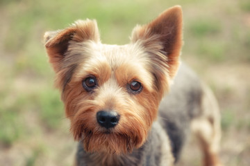 Yorkshire Terrier on natural green background