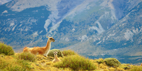 Wall Murals Lama Mother guanaco with its baby