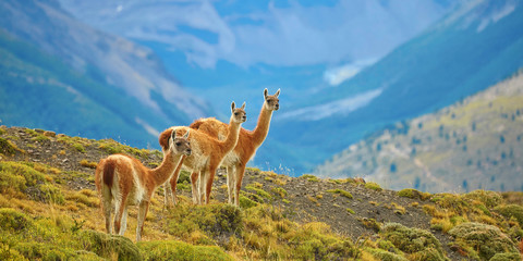Foto op Canvas Lama Guanacoes in Torres del Paine national park
