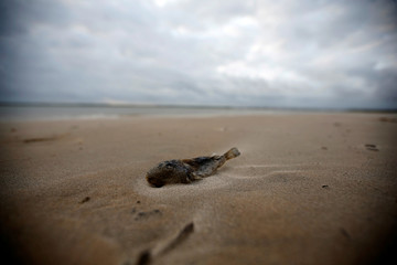 A dead fish is seen near an oil spill on Viral beach in Aracaju, Sergipe state