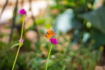 A gulf fritillary butterfly on a flower, Tempe AZ