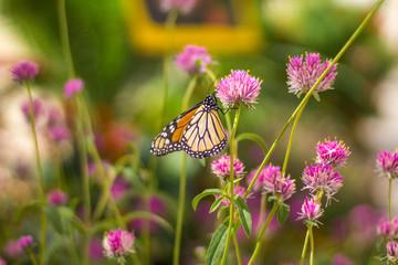 A Monarch butterfly on a flower in Tempe AZ