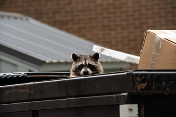 Cute raccoon peaks head out from dumpster.