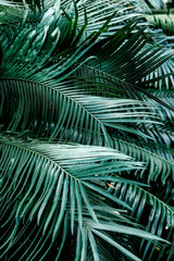 Vertical shot of dark green palm foliage in the tropical forest. Real photo of palm tree in Thailand. Nature and plant concept. Selective focus