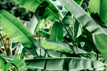 Horizontal shot of banana leaves in lush tropical garden after rain. Real photo made in Thailand. Floral jungle pattern background. Nature and plant concept.
