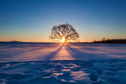 北海道・冬のハルニレの木の朝日
