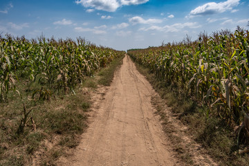 Corn field in the island of Koh Paen, Kampong Cham, Cambodia