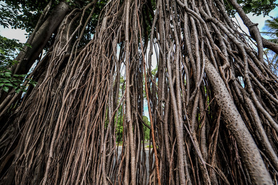 Particular tree in Angkor Wat temples, Siem Reap, Cambodia