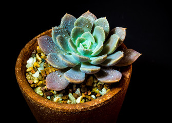 Wall Mural - Succulent plant close-up Echeveria Orion in the earthen pot