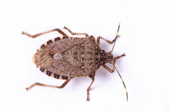 Brown marmorated stink bug close up dorsal view