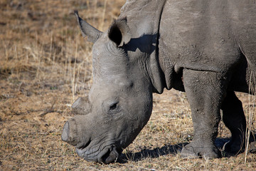 Close-up of a White Rhino (Ceratotherium simum) with Sawed-off Horn, Grazing. Modlito Game Reserve, Kruger Park, South Africa