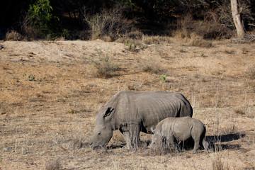 White Rhino (Ceratotherium simum) with Calf. Modlito Game Reserve, Kruger Park, South Africa