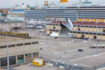 Seagull flying over the Venice cruise terminal, Italy