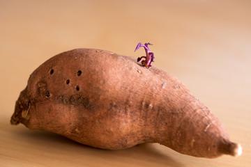 Keimende Süßkartoffel