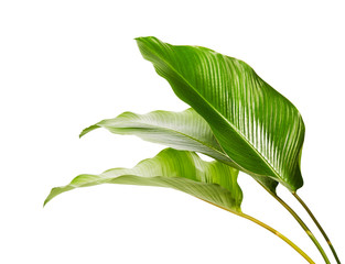Calathea foliage, Exotic tropical leaf, Large green leaf, isolated on white background with clipping path
