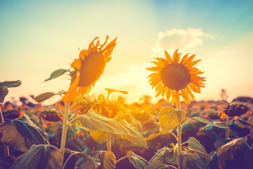 Fotobehang Zonnebloem Sunflower field at sunset.