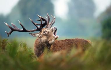 Poster de jardin Cerf Red deer stag calling during rutting season in autumn