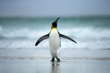 Fotobehang Pinguin King penguin standing on the coasts of Atlantic ocean