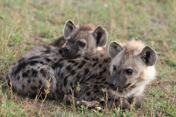 Foto op Canvas Hyena Spotted hyena cubs sleeping against each others, Masai Mara National Park, Kenya.