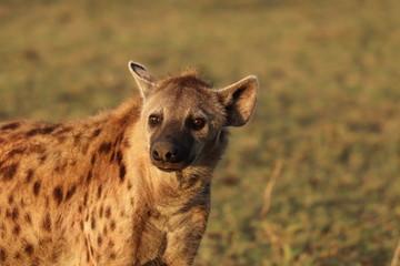 Fotobehang Hyena Spotted hyena face closeup.