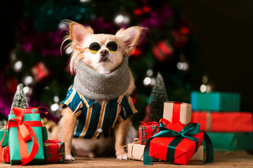 cute chihuahua dog with stylish fasioned glasses smile and joyful with christmas tree decorating and colorful present gift box festive concept