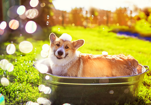 portrait of a cute puppy dog red Corgi washed in a metal washtub on the street in the foam and soap bubbles glittering in the sun hot summer garden on green grass