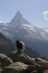 A Valais Blackneck goat on a rock with the Matterhorn in the background