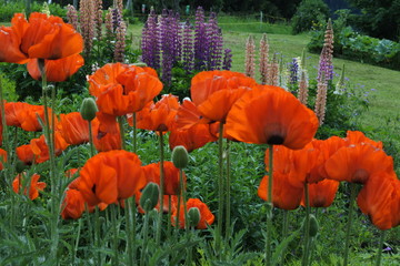 bright red poppies with green grass an lupine in the background