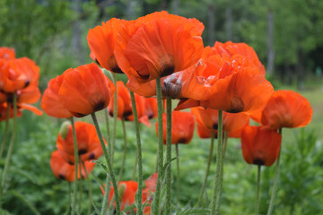 Bright red oriental poppies on a background of green grass