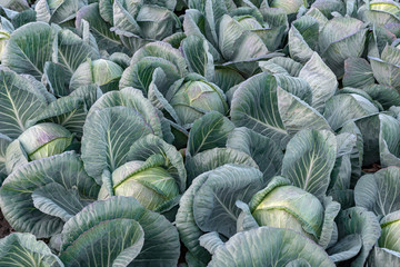 White cabbage heads on the field before the harvest