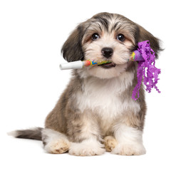 Cute Havanese puppy with a New Year's Eve trumpet in his mouth