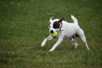 Jack Russell Dog playing Fetch