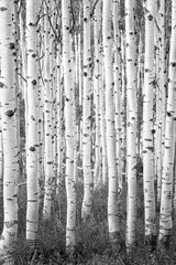 Surreal black adn white aspen glade in the Wasatch Mountains, Utah, USA.