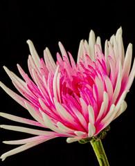 Flowering Chrysanthemum Plant