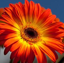 Close Up of Gerber Daisy