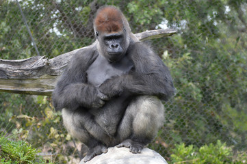Western lowland gorilla in the outdoors Wall mural